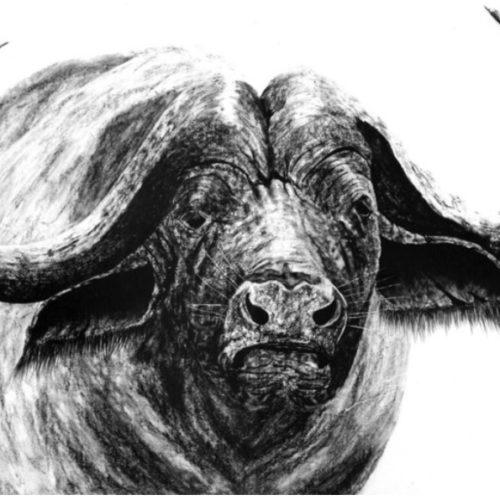 Kaapse Buffel Paul R Kock